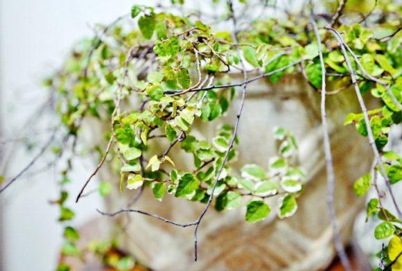 小さい葉がかわいい班入りプミラ。