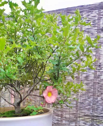 姫柊とオキザリスの花