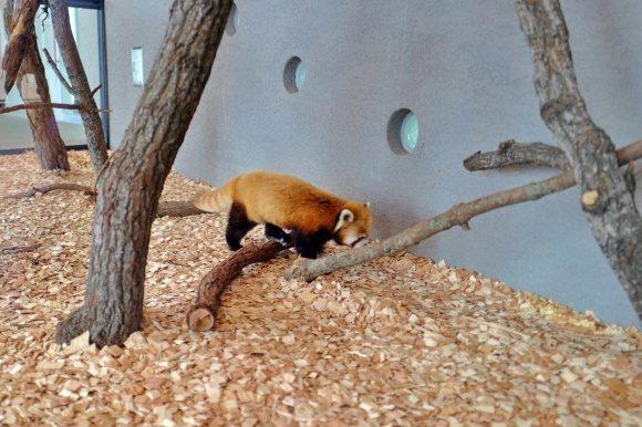 モフモフで可愛いレッサーパンダ!