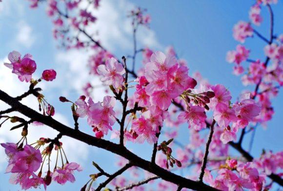満開の桜だ。