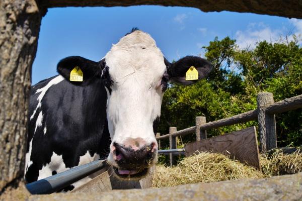 威嚇してくるので注意な牛さん
