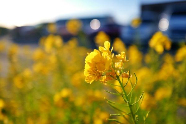館山に着いたら菜の花が咲いていた。ただいま。