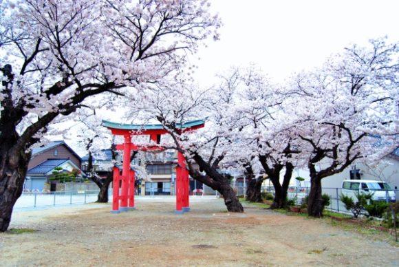 観光客が少なので、桜が生き生きしてる感じ。