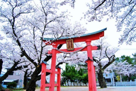 見事にソメイヨシノが咲き誇る。