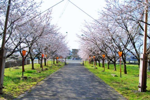 新保八幡宮境内の桜並木。