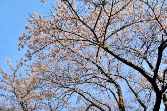 桜の枝も伸び伸び。