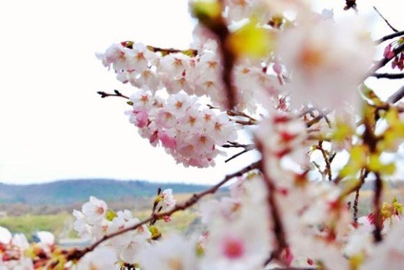 海辺の桜をパシャリ。