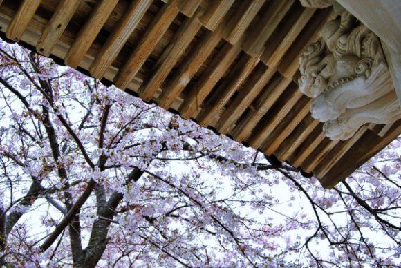 桜が満開だ。