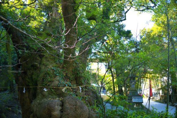 樹齢1300年を超えるらしい。