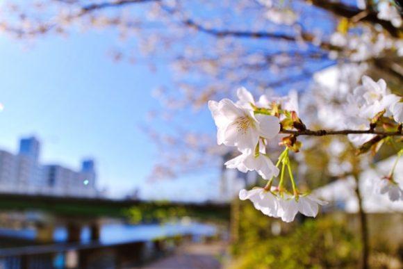 高浜運河沿緑地の桜