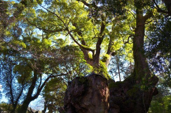 こんな感じで大楠を見上げる。