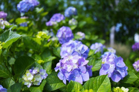 ぽつぽつと紫陽花が満開