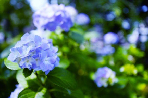 淡い青色のアジサイ