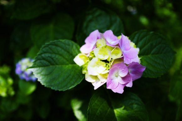 ちょこんとピンクの紫陽花