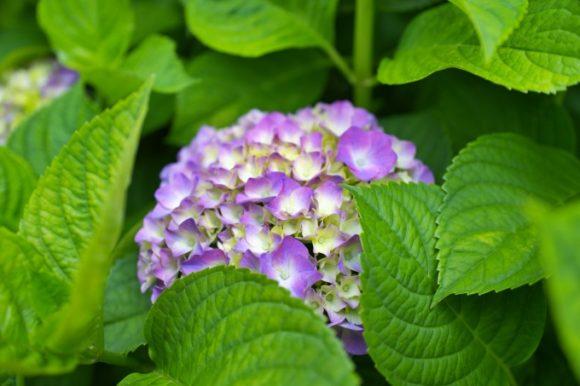 ひょっこり紫陽花。グラデーションがGOOD
