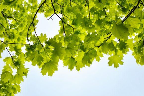 見上げるとなかなかかわいい葉のシルエット。