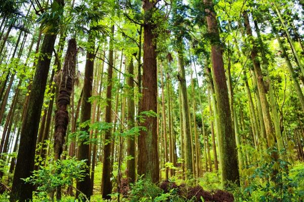 幻想的な杉林
