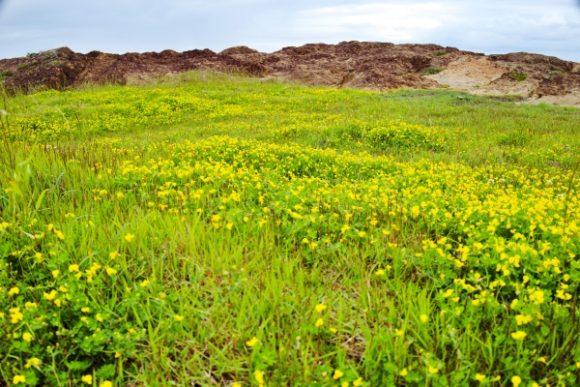 磯場の横の黄色い花。