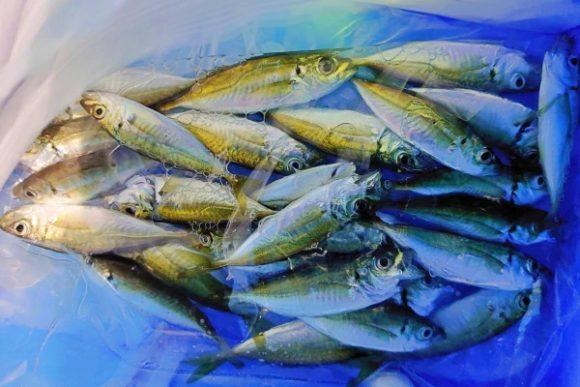 小さいので血抜きせず氷締め。大漁。
