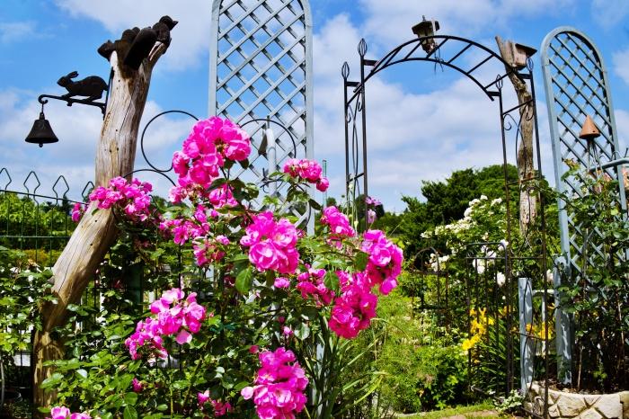 ピンクのバラが青空に映える。