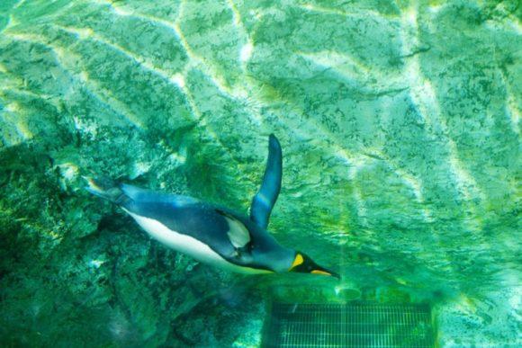 根気よくペンギンを追い続ける。
