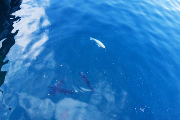 桟橋下に鯉がたくさん!