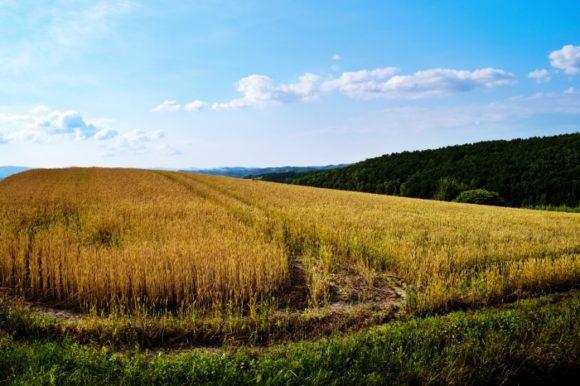 小麦畑もイイネ!