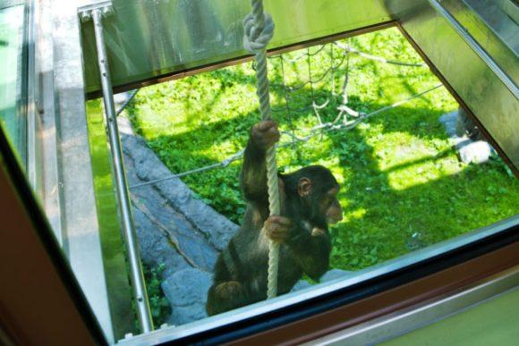 いきなり現れるチンパンジー。