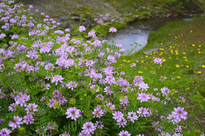 小川の上にマメ科(?)のピンクの花