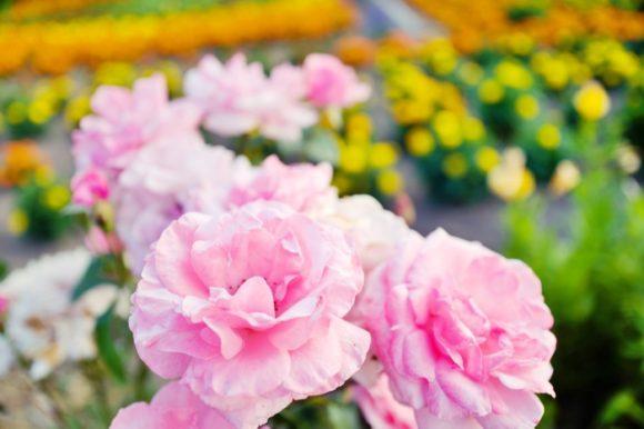 ピンクのバラも咲いてました。