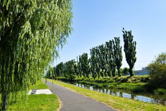 創成川のポプラ並木。遊歩道もある。