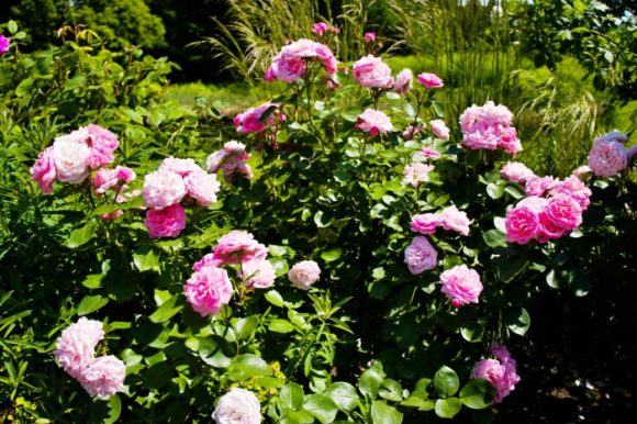 満開のピンクの薔薇