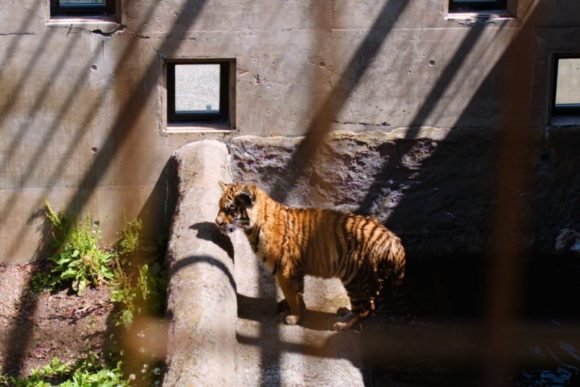 檻が邪魔ですが、やんちゃなトラもばっちり写っている。
