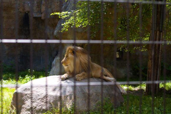 王者の風格漂うライオン。