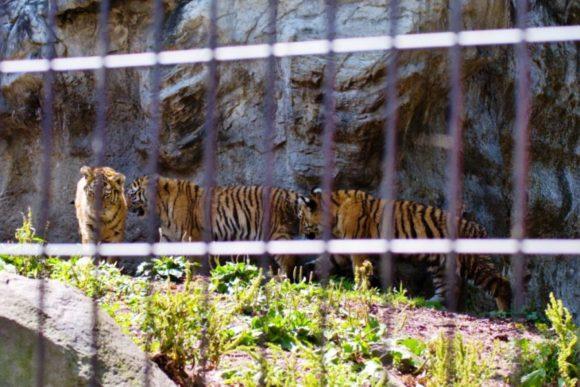 生後半年に満たないトラですが、立派に見えます(2020年7月撮影)。