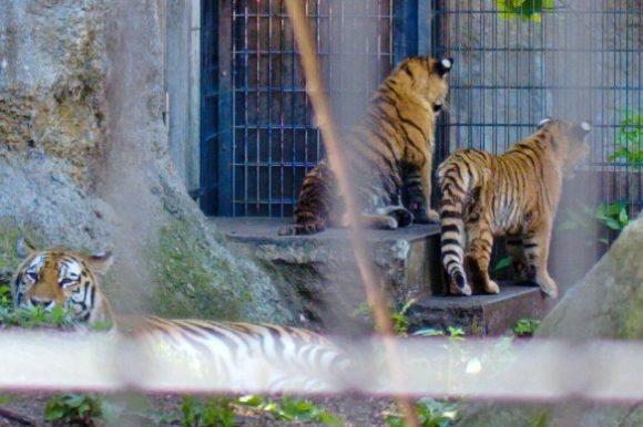 手前に親トラ。子トラたちは檻の向こうを警戒。