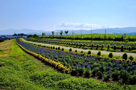 コキアとお花畑の道。