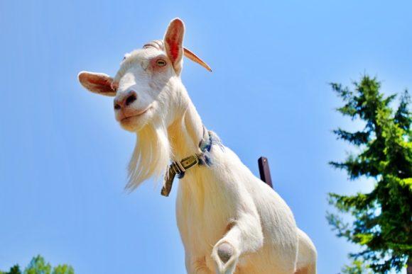 ちと怖いヤギに見下ろされる。このアングル初体験だわ。