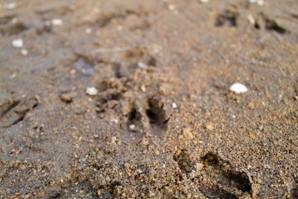 近くにあったタンチョウの足跡。