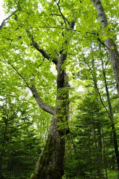 のびやかな巨大な木。