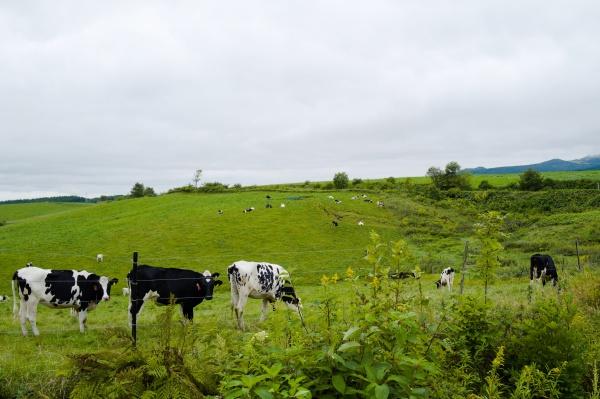 ジッと見てくる牛さん。ご機嫌斜め?