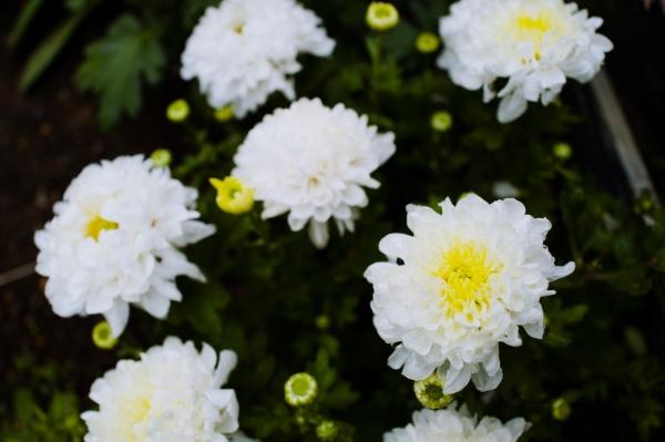 キク科の花も見頃だ。
