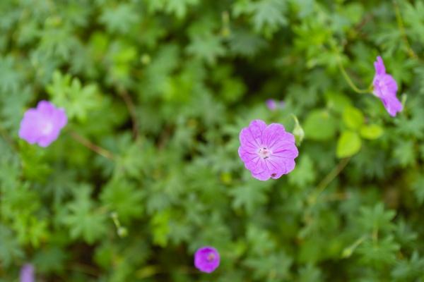 ひっそりと咲くピンクの花。フクロウソウかな?