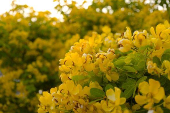 コバノセンナ。 花言葉は、輝かしい未来。ピッタリな印象ですね。