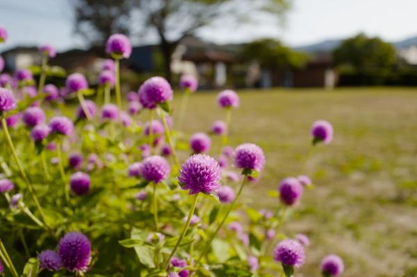 ピンクの花がふれあい広場に咲く