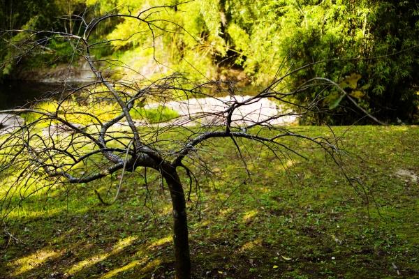 香梅ヶ渕にある梅。