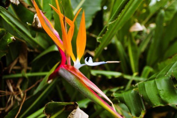ストレリチア(極楽鳥花)も開聞岳エリアに咲いてました。