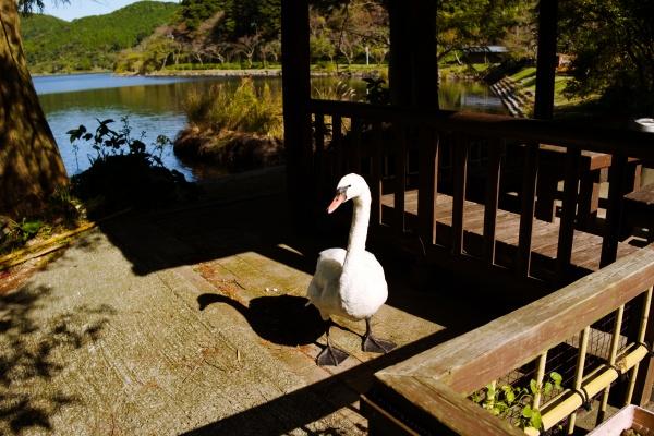 堂々とした白鳥。水面にいないとアヒルに見える・・・
