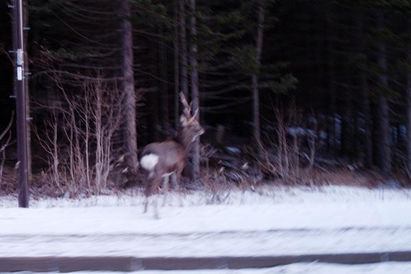 鹿をパシャリ。