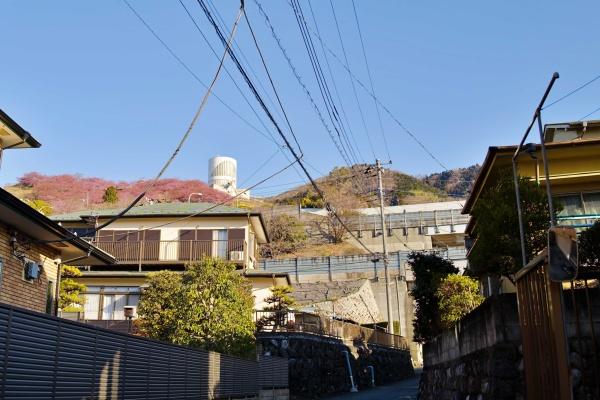 2月11日の松田山はピンク色!